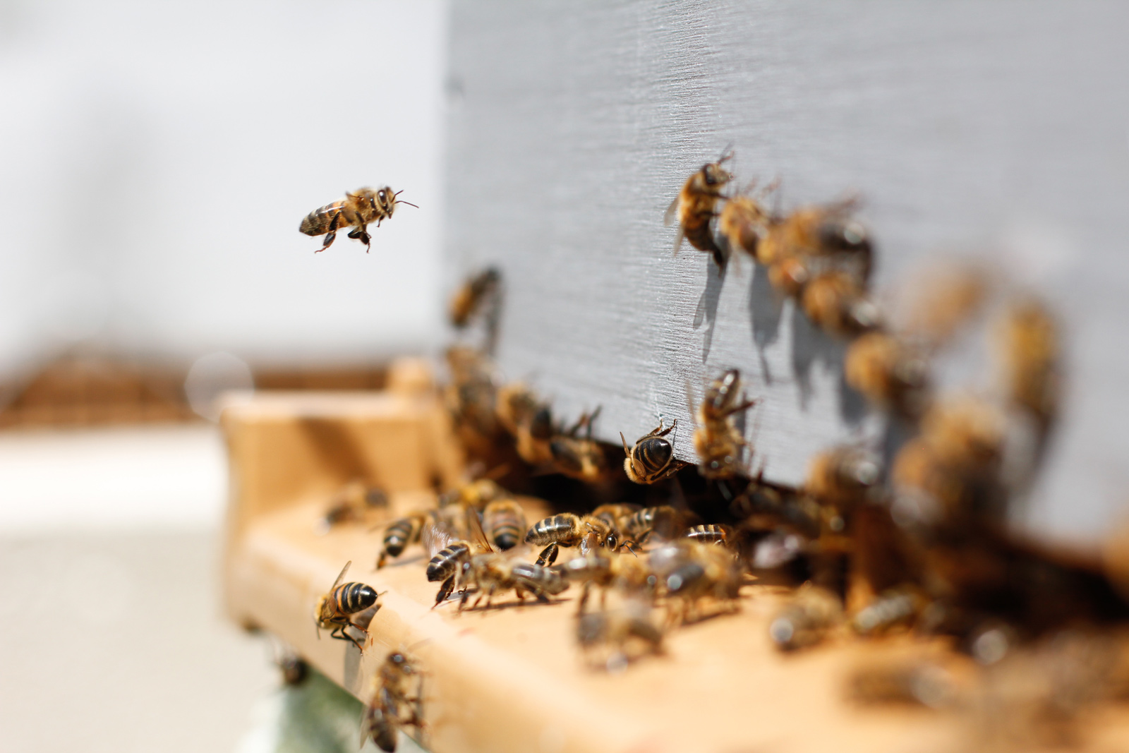 Worker bees hover around the hive.