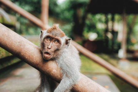 A monkey looks at you while he lounges on a tree branch.