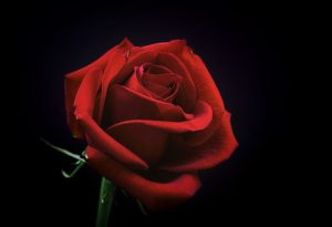 Close-up of a beautiful red rose.